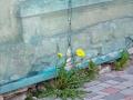 Mauerblümchen sabof