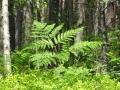 Farn im Wald sab