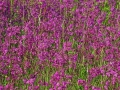 Pflanzenwuchs violett whe_bearbeitet-1
