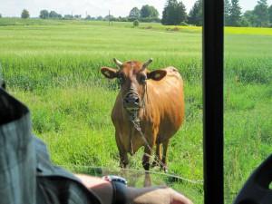 Kühe grasen direkt an Wegen und Straßen