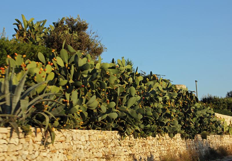Kakteenallee auf dem Weg nach Santa Maria di Leuca
