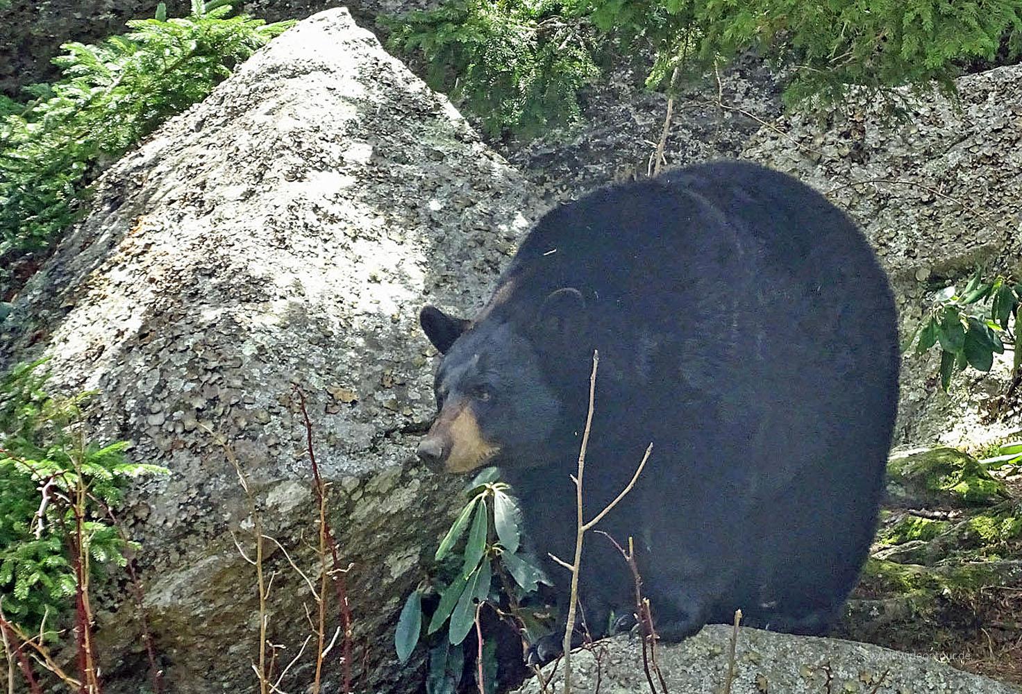 In den Blue Ridge Mountains lebt auch der Schwarzbär.