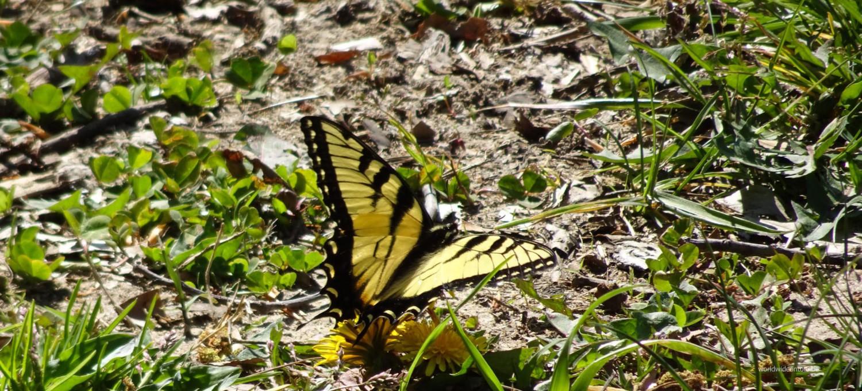 Schmetterling = Ein großer schöner Falter.
